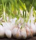 Garlic is a powerful anti-viral